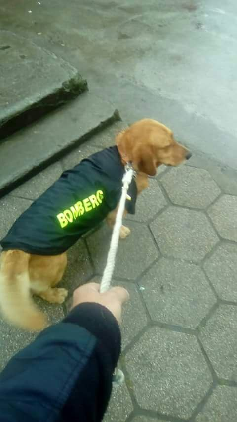El Socio, fiel mascota de Bomberos de Santa Bárbara